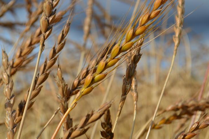 Sommeren 2018 har vært katastrofal for mange bønder i Norge. Tørt klima har ført til sviktende avlinger og en selvforsyningsgrad som har sunket til 30 prosent. Illustrasjonsfoto: Økologisk Norge/ Emma Gerritsen