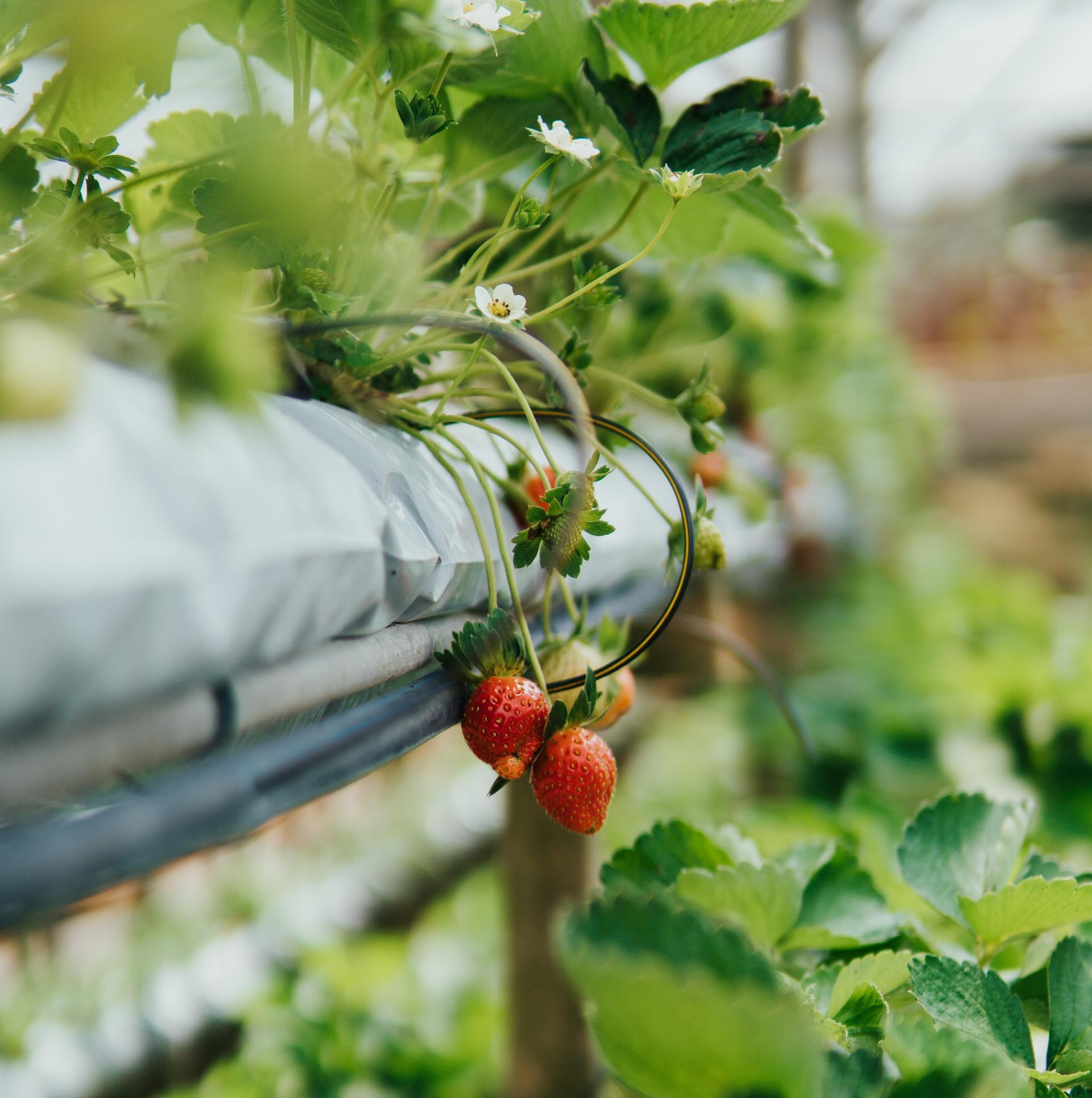 Hydroponic og aquaponic er fremtidsrettede dyrkingsmetoder! Foto: Unsplash.com